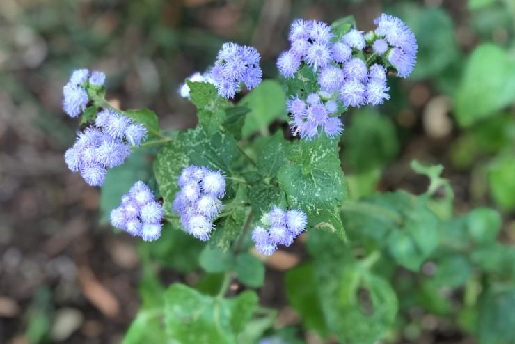 Floss Flower Ageratum Houstonianum Thomas Jefferson S Monticello