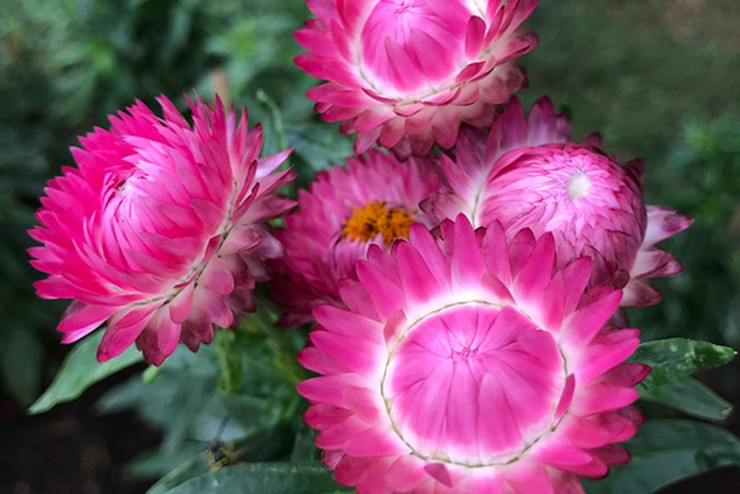 Strawflower - Helichrysum bracteatum | Thomas Jefferson's Monticello
