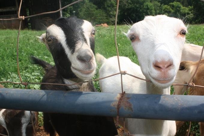 Caromont baby goats