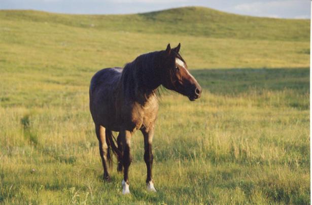 Red Badger, a Nokota stallion, photo by Castle McLaughlin.