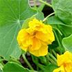 Edible Nasturtium